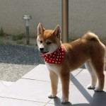 A new member of our clinic: A female four-month-old Shiba (representative Japanese dog breed),